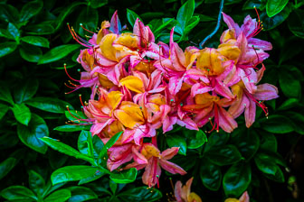Rododendron-2.jpg